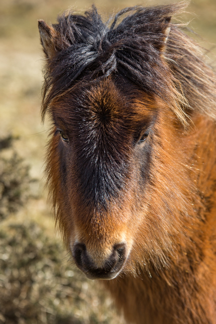 Bodmin Moor ponny
