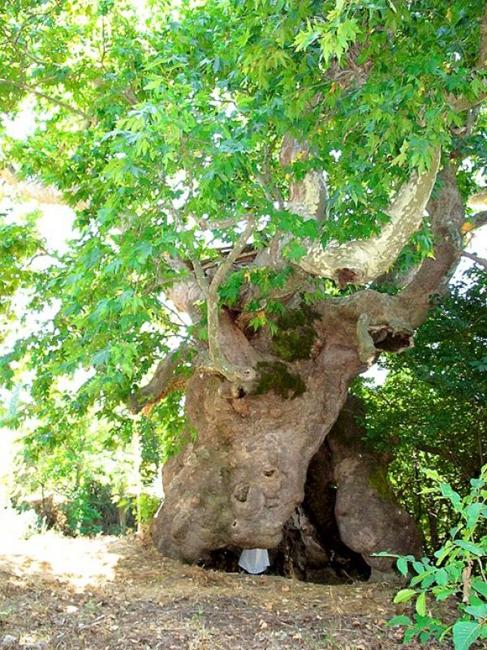 Cinar Tree